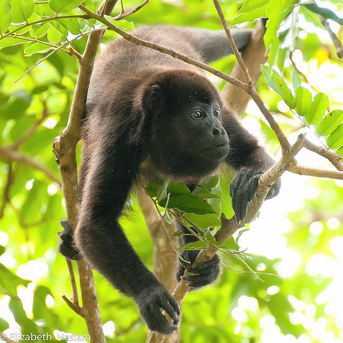howler monkey angst