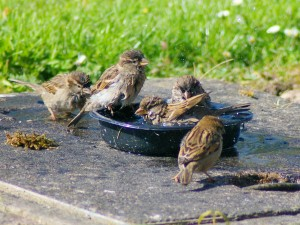 Baby birds bathing together