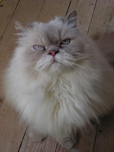 Cat with arrogant look