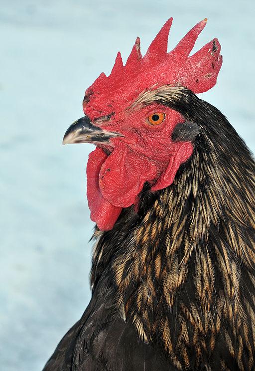 Black Bovan Rooster