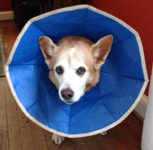 With her cone, Suzy looked like a sunflower